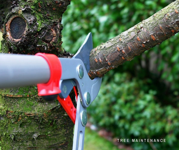 Tree pruning services for overgrown trees that need to satisfy building clearance