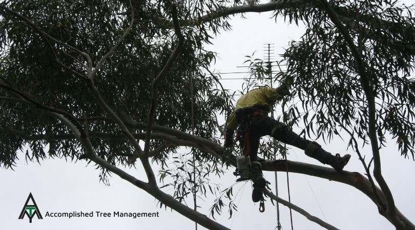 Accomplished Tree Management - Removing a tree is more complicated than it sounds. It involves many steps and procedures in order to remove a tree safely, efficiently and legally.