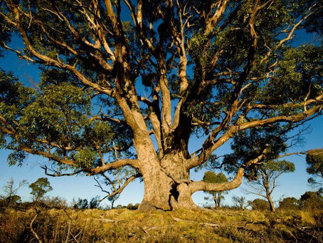 WHEN TREES BECOME HAZARDOUS