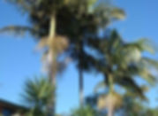 Palm tree maintenance by Accomplished Tree Management servicing Port Macquarie, Wauchope, Laurieton, Kempsey and Taree