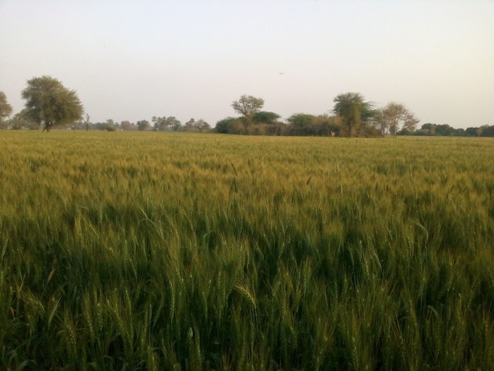A Ripening Harvest