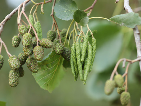 Alder Tree: Healing in the Womb Chamber