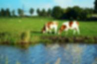 Dutch Cow.jpg