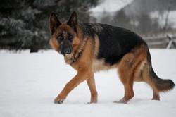 Naomy - german shepherd dog ontario