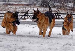 The crew - german shepherd puppy ontario