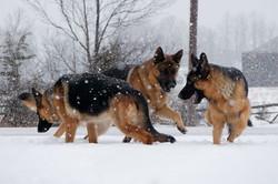 loyalist_shepherds_Fun in the snow ⛄️ ❄️