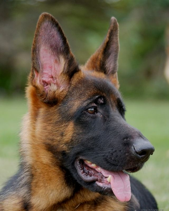 Nitra from Loyalist German Shepherds Kin