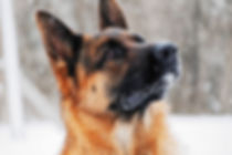 Drago male stud - Loyalist German Shephe