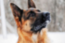 Drago male stud - Loyalist German Shephe