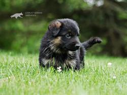 Reba X Drago Puppy - Stunning!_www