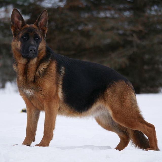 Nitra from Loyalist German Shepherds Kin