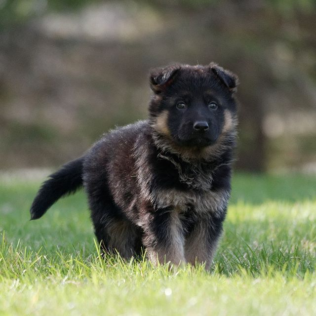 Naomy X Drago Pup_www.loyalistshepherds.