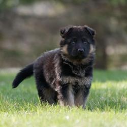 Naomy X Drago Pup_www.loyalistshepherds.