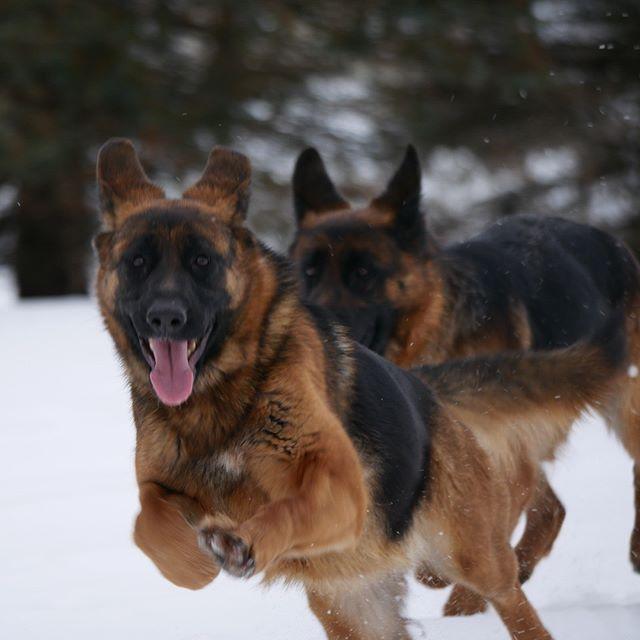 Nitra and Reba _Loyalist German Shepherd