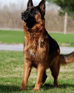 Areba at Loyalist Shepherds - Litter due