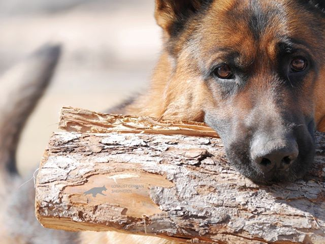 Drago from Loyalist German Shepherds Kin