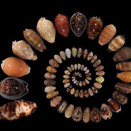 The Most Precious of Cowries