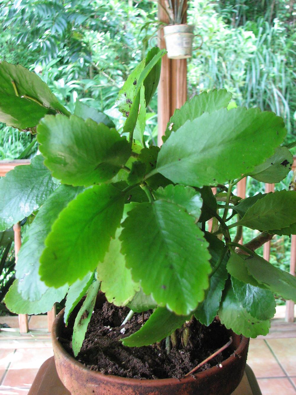 Kalanchoe pinnata o Bryophyllum pinnatum