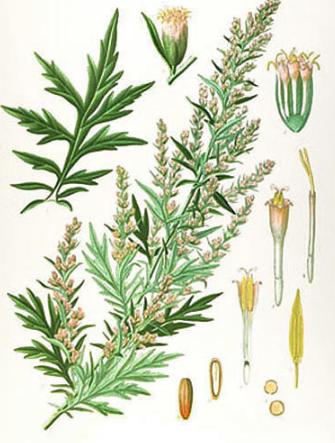 armoise-artemis-vulgaris-moxibustion-acupuncture-laetitia-azorin-reflexologie-egliseneuve-billom-puydedome