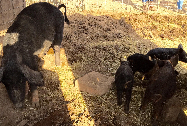 pigs-bh-crop