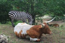 zebra and long horn
