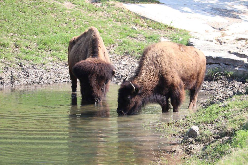 buffalo in pond 2