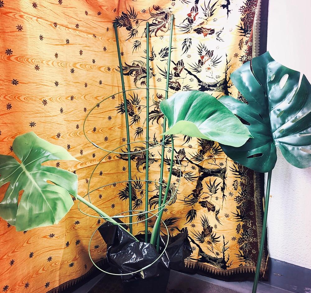 モンステラ株分け 植物と風水 健康と家族関係の風水 コンテンポラリー風水フジワラユカ
