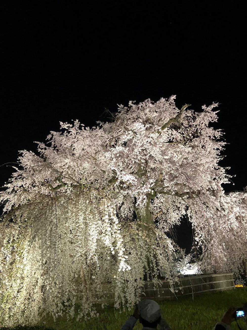 京都円山公園しだれ桜