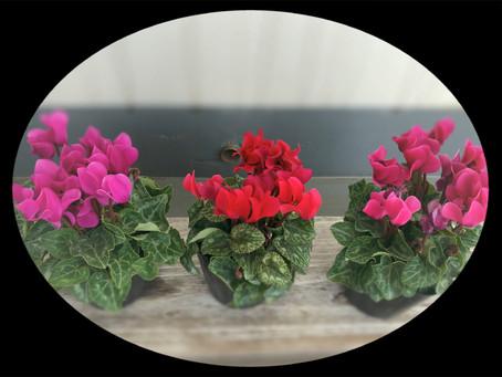 【プチプラ風水】ガーデンシクラメン3鉢で財運UP!