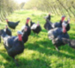 Turkeys 1 small.JPG