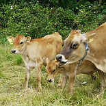 Cow and calves cs.JPG