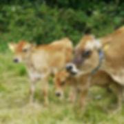 Cow and calves cs.JPG