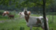 PH cows.jpg