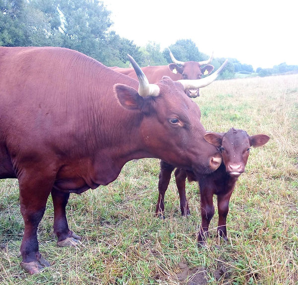Cow and calf.jpg