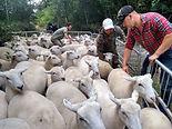 Rounding up the lambs 4.jpg