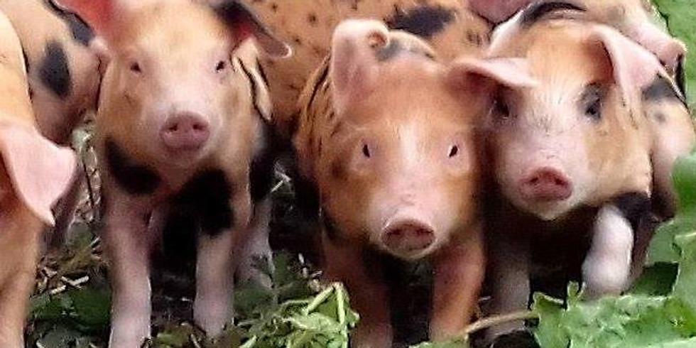 Farm walk - pigs