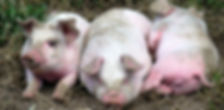 Piglets July 2019 cs.JPG