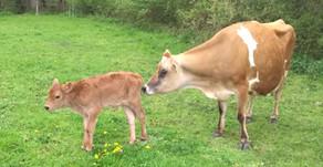 The Tablehurst Raw Milk Dairy