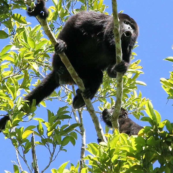 h_a_howler_monkey_howling_square.jpg