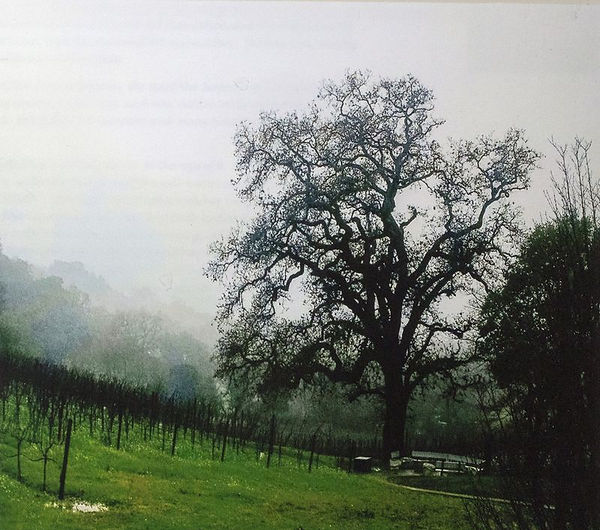 oak_tree_sonoma_county.jpg