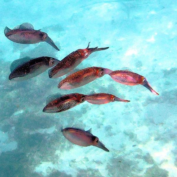 h_caribbean_reef_squid_3.jpg