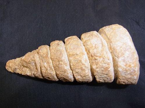 貝実物化石