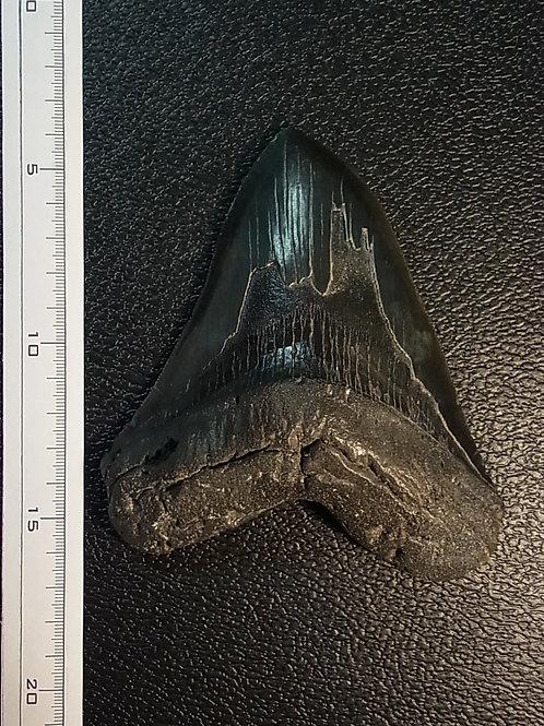 カルカロドンメガロドン実物歯化石
