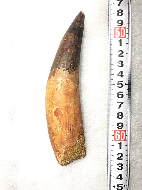 スピノサウルス実物歯化石a-1