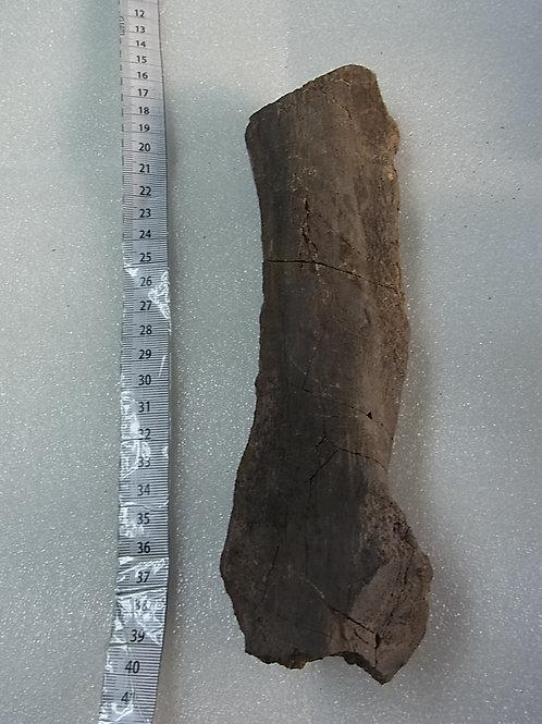 クリトサウルス棘突起実物化石