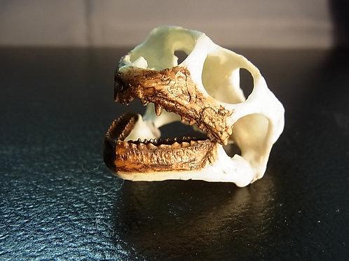 サバクゴファーガメ頭骨レプリカ