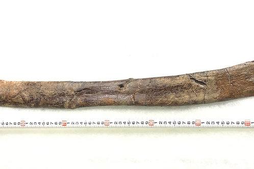 トリケラトプス肋骨実物化石 a-1