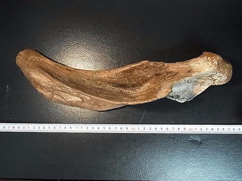 エドモントサウルス肩甲骨の一部実物化石