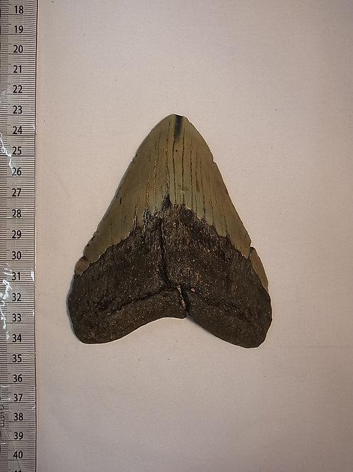 カルカロドンメガロドン実物歯化石②