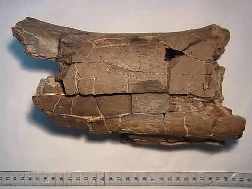 アラモサウルス腓骨?実物化石